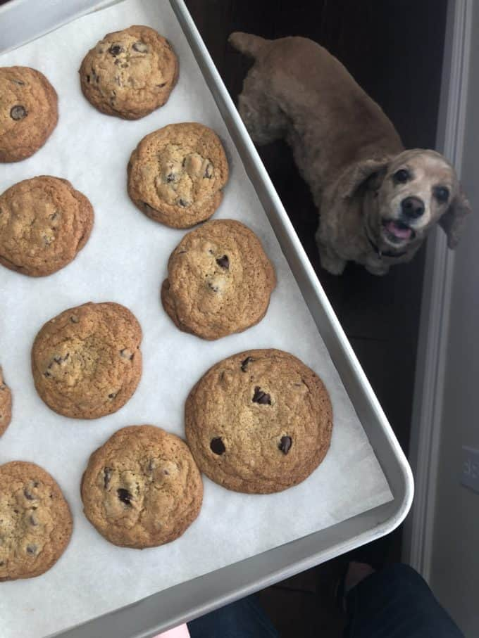 @sweetcharliedog with chocolate chip cookies