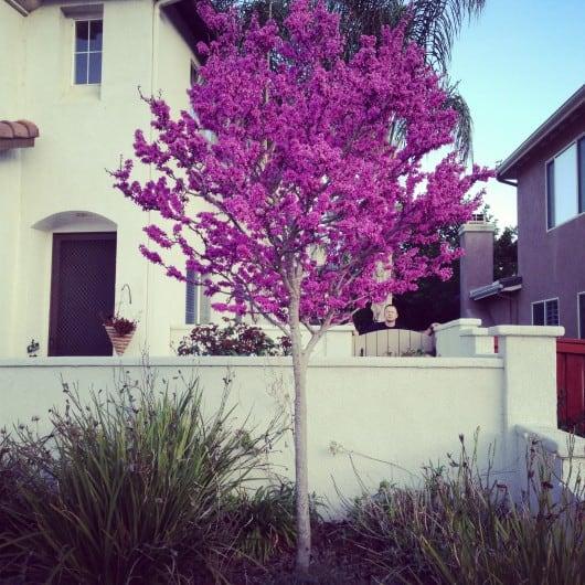 Avondale Red Bud Tree